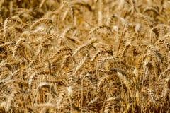 Сбор текстуры пшеницы пшеницы иллюстрация штока