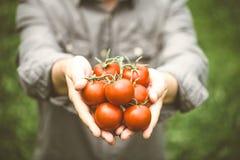 Сбор томата в осени Стоковое фото RF