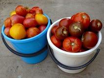 Сбор томатов стоковое фото rf