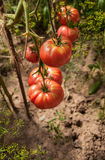 Сбор томатов Стоковое Изображение