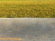 Сбор тропической страны поля риса готовый Стоковая Фотография RF