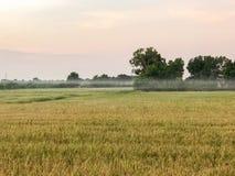 Сбор тропической страны поля риса готовый Стоковое Изображение