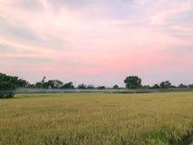 Сбор тропической страны поля риса готовый Стоковое фото RF