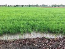 Сбор тропической страны поля риса готовый Стоковая Фотография