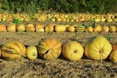 Сбор тыквы & урожай семени тыквы в поле Стоковые Фото
