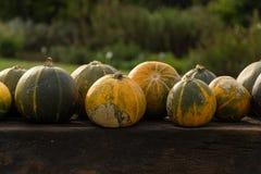 Сбор тыкв на хеллоуин Стоковые Фото
