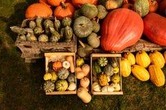 Сбор тыкв на хеллоуин Стоковые Изображения RF