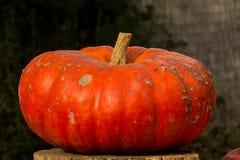 Сбор тыкв на хеллоуин Стоковая Фотография RF
