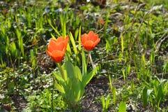 Сбор тюльпана предыдущий Стоковые Фото