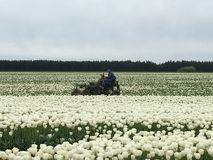 Сбор тюльпанов Стоковые Изображения RF