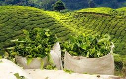 Сбор чая на плантации чая стоковые изображения rf