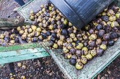 Сбор черного грецкого ореха Стоковая Фотография RF