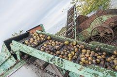 Сбор черного грецкого ореха Стоковая Фотография