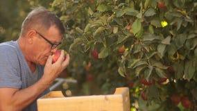 Сбор яблок в деревянных коробках Нанятый лейборист в собрании яблок в ферме Рабочий-мигранты, работа видеоматериал