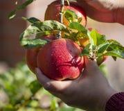 Сбор яблок в саде, сезон сбора осени в садах плода стоковые фотографии rf