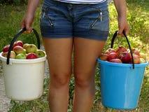 Сбор яблок Стоковые Изображения RF