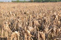 Сбор afrer кукурузных полей в небе захода солнца Стоковые Изображения RF