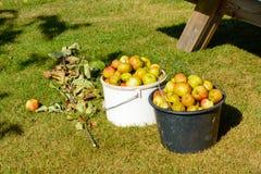 Сброшенные яблоки Стоковая Фотография RF