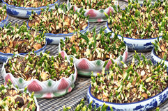 сбывание potting narcissus стоковые изображения rf