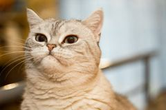 Сварливый великобританский кот стоковое фото rf
