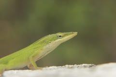 Сварливая ящерица Стоковая Фотография RF