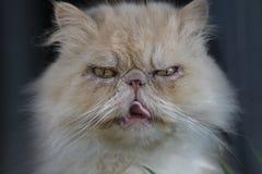 Сварливый волосатый кот в Burano Венеции Стоковые Изображения RF