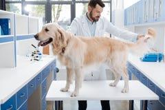 Сведущий ветеринар проверяя волосы большой собаки Стоковая Фотография RF