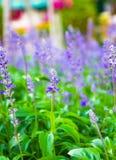 Свежая лаванда ботаническая Стоковое Изображение RF