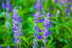 Свежая лаванда ботаническая Стоковые Изображения RF