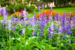 Свежая лаванда ботаническая Стоковая Фотография