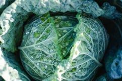 Свежая большая капуста в саде Стоковое Изображение
