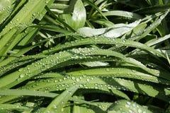 свежая весна зеленого цвета травы здоровая Стоковое Изображение RF