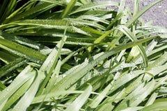 свежая весна зеленого цвета травы здоровая Стоковая Фотография RF