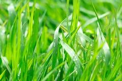 свежая весна зеленого цвета травы здоровая Стоковые Изображения