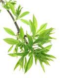 свежая весна листьев Стоковое фото RF