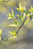 свежая весна листьев Стоковое Изображение