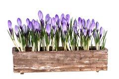 Свежая весна цветет крокусы в старом баке Стоковое Изображение RF