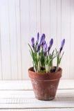 Свежая весна цветет крокусы в старом баке terracota Стоковое фото RF