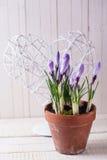 Свежая весна цветет крокусы Стоковое Изображение