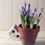 Свежая весна цветет крокусы Стоковые Изображения