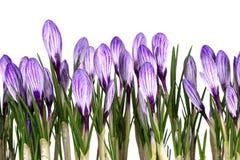 Свежая весна цветет крокусы Стоковые Фото