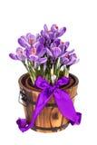 Свежая весна цветет крокусы Стоковая Фотография