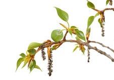 Свежая ветвь дерева весны при листья изолированные дальше Стоковое Изображение