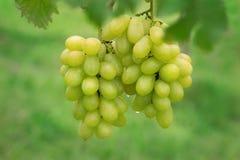 Свежая виноградина на пуках в ферме Стоковые Изображения