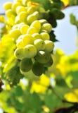 свежая виноградина Стоковая Фотография RF