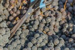 свежая виноградина стоковые изображения