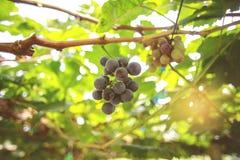 свежая виноградина Стоковые Изображения RF