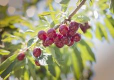 Свежая вишня от сада Стоковое Изображение