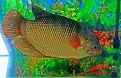 свежая вода рыб Стоковые Фотографии RF