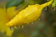 Свежая вода на желтом цветке Стоковое Изображение RF